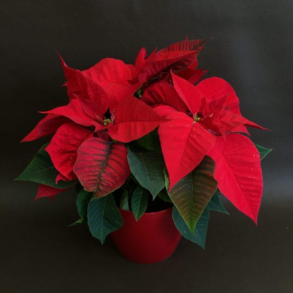 Estrela de Natal vermelha